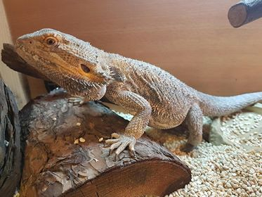 Wizard Bearded Dragon